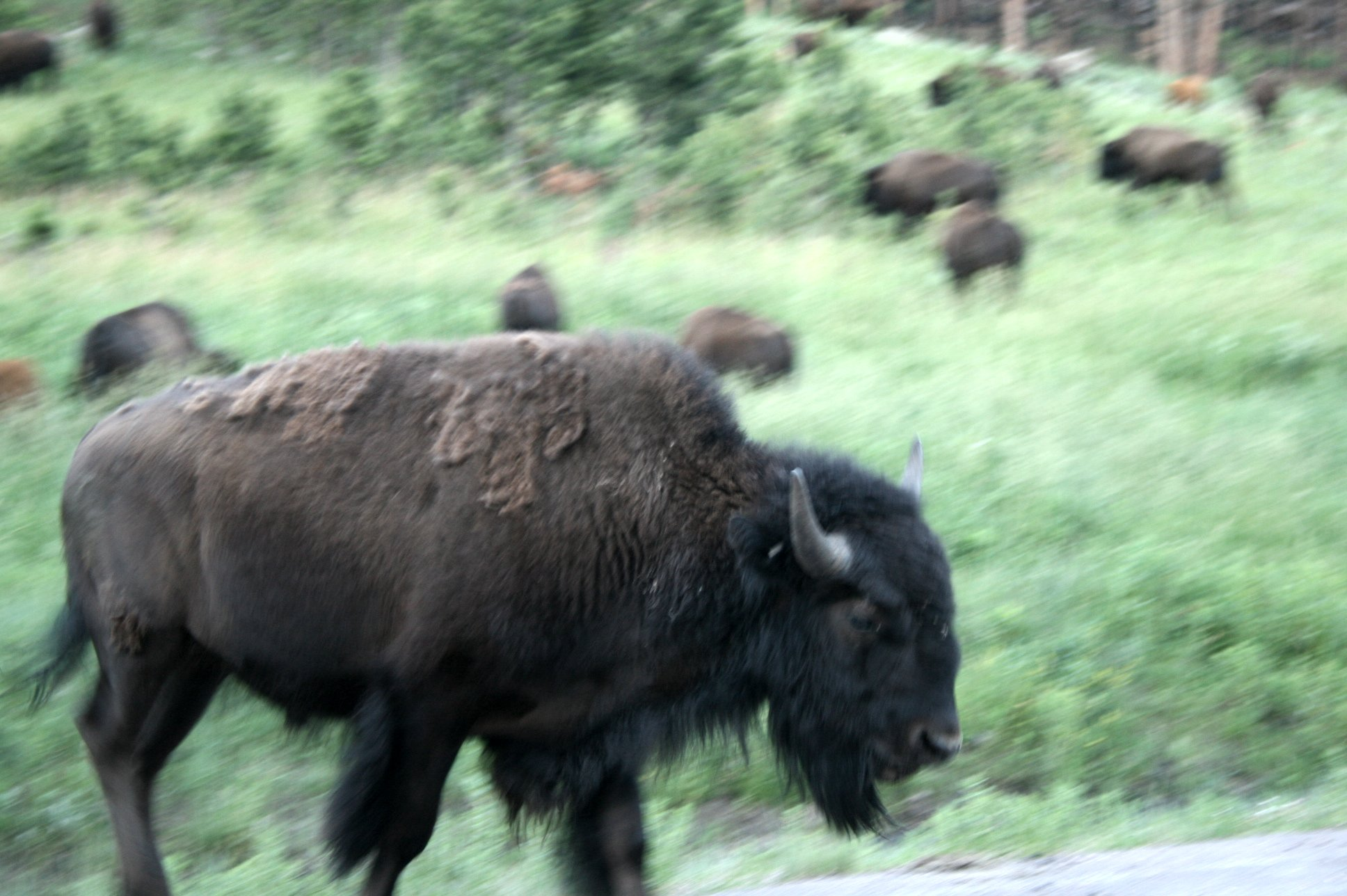The Plains tribes gained virtually all their resources from the Buffalo herds - thinning out because of White hunting